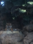 Tigers at the aquarium?